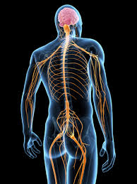 Image of nerves in body portraying medical massage service